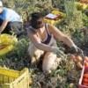 Puglia. Arresti per la bracciante morta di fatica sui campi
