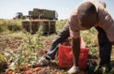 La raccolta di frutta a Saluzzo (e non solo): un groviglio di contraddizioni
