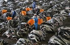 Vaccini anti-Covid e commercio mondiale di squalene: un futuro disastro ecologico?