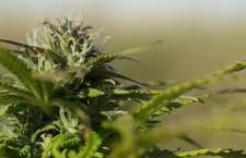 500mila firme, primo obiettivo raggiunto per il referendum sulla cannabis