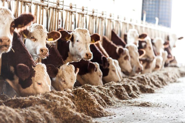 allevamenti-bovini